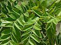 Cassia grandis (2558459530).jpg