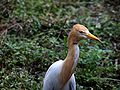 Cattle Egret in Summer.jpg