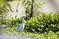 Cattle egret (27680163768).jpg