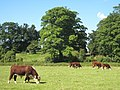 Cattle grazing on King's Meadow Wallingford - geograph.org.uk - 949372.jpg