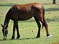 Cavalo e Garça branca na entrada de Pradópolis. - panoramio.jpg