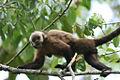 Cebus apella macrocephalus (Brown Capuchin Monkey).jpg