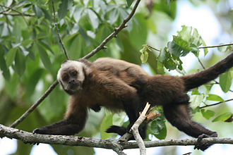 Tariquía Flora and Fauna National Reserve - Tufted capuchin