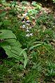 Cephalanthera rubra Flowers.JPG