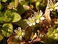 Cerastium semidecandrum 65163329.jpg