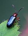 Cereal Leaf Beetle 2.jpg