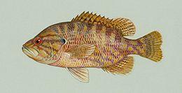 Chaenobryttus gulosus