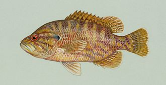 Warmouth - Image: Chaenobryttus gulosus
