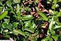 Chaenomeles japonica Texas Scarlet 3zz.jpg