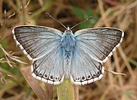 Chalk Hill Blue, Sheffield Park - geograph.org.uk - 239698.jpg