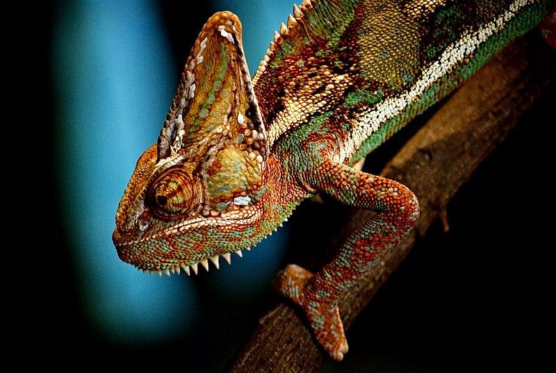 http://upload.wikimedia.org/wikipedia/commons/thumb/4/42/Chameleon_Wroclaw_ZOO.jpg/800px-Chameleon_Wroclaw_ZOO.jpg