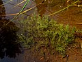 Charophyta IMG 4834^.jpg