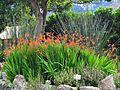Chasmanthe floribunda var floribunda, habitus, Kirstenbosch NBT.jpg