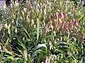 Chasmanthium latifolium 1zz.jpg