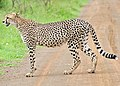 Cheetah (Acinonyx jubatus) on the road.jpg