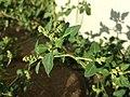 Chenopodium vulvaria sl20.jpg