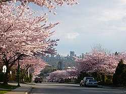 Cherry Bloom Burnaby 2.JPG