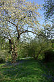 Cherry blossom and bluebells - geograph.org.uk - 409566.jpg
