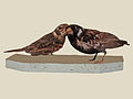 Chestnut-backed Sparrow-Lark specimen RWD.jpg