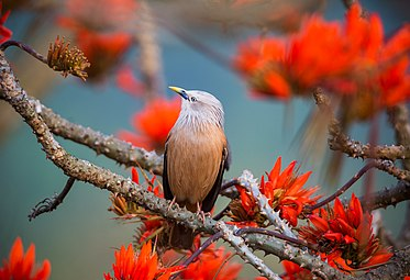 Chestnut-headed Starling magestic.jpg