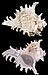 Chicoreus ramosus Profils.jpg