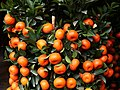 Chinese Tangerine in Yuen Long.jpg