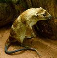 Chironectes minimus Yapock Musée d'Histoire Naturelle Tournai 27122015 1.jpg