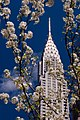 Chrysler Building in Cherry Blossom - Flickr - David Blaikie.jpg