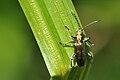 Chrysomelidae Donaciinae 2.jpg