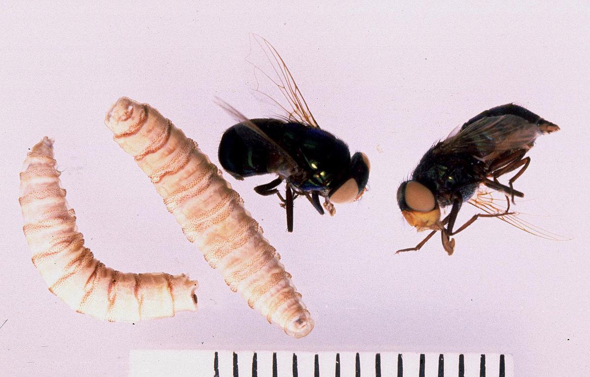 az enterobiasis és a helmintusok ugyanazok mi hiányzik az orsóféregben