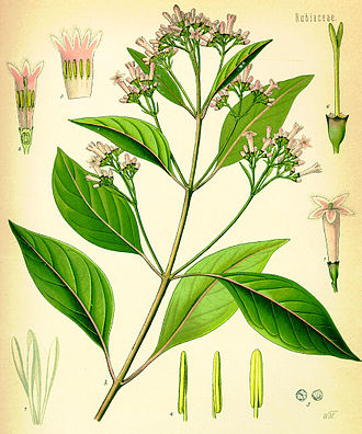 Cinchona officinalis - Image: Cinchona officinalis (Köhler)