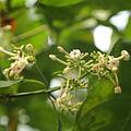 Cinchona pubescens-IMG 9425.JPG