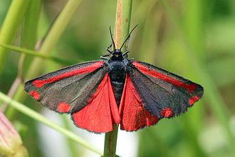Cinnabar moth - Moths at Piddington Wood, Oxfordshire