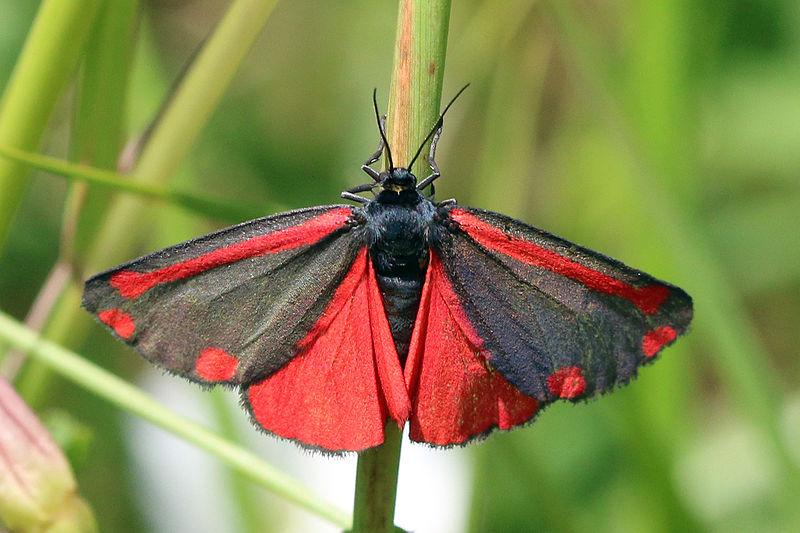 File:Cinnabar moth (Tyria jacobaeae).jpg