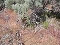 Cirsium canovirens (C. subniveum) (4045847618).jpg
