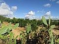 Citrus orchard, Branqueira, 13 October 2016 (1).JPG