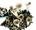 Cladonia pyxidata-5.jpg