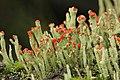 Cladonia sp. (39256523341).jpg