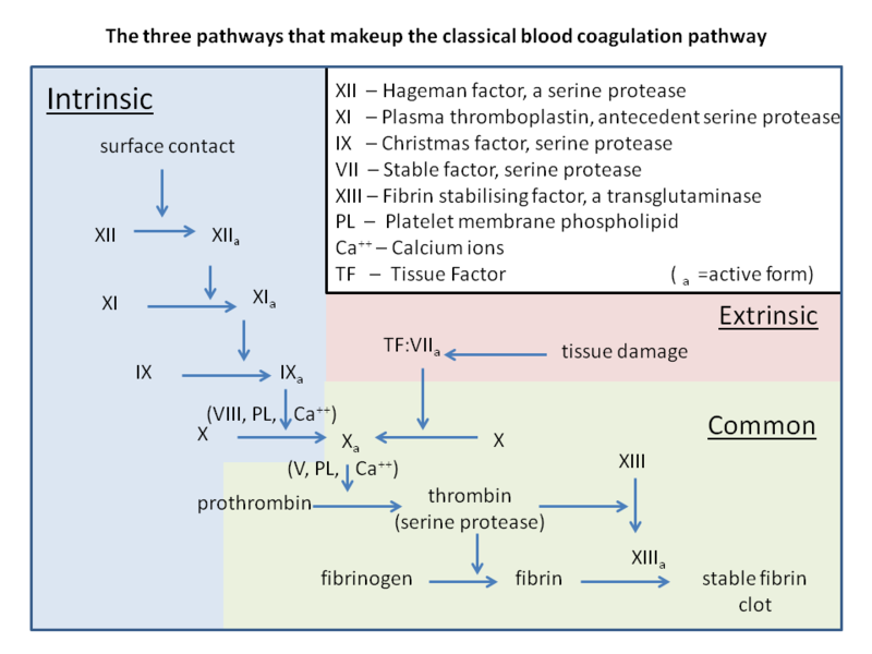 File:Classical blood coagulation pathway.png