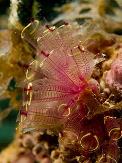 240px clavelina picta (painted tunicate)