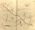 Cleome gynandra-Hortus Malabaricus-V9-T24.png