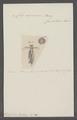 Clio capensis - - Print - Iconographia Zoologica - Special Collections University of Amsterdam - UBAINV0274 080 11 0009.tif