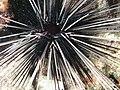 Close up on a diadem urchin.jpg