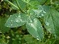 Clover Leaf After Rain.jpg