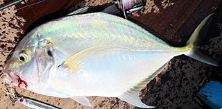 Coastal trevally species of fish