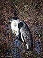 Cocoi Heron Ardea cocoi (27324516429).jpg