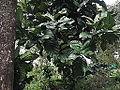Coffea robusta-yercaud-salem-India.JPG