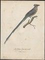 Colius erythromelon - 1796-1808 - Print - Iconographia Zoologica - Special Collections University of Amsterdam - UBA01 IZ19300011.tif