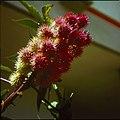 Collectie Nationaal Museum van Wereldculturen TM-20029707 Vruchten van een plant Bonaire Boy Lawson (Fotograaf).jpg