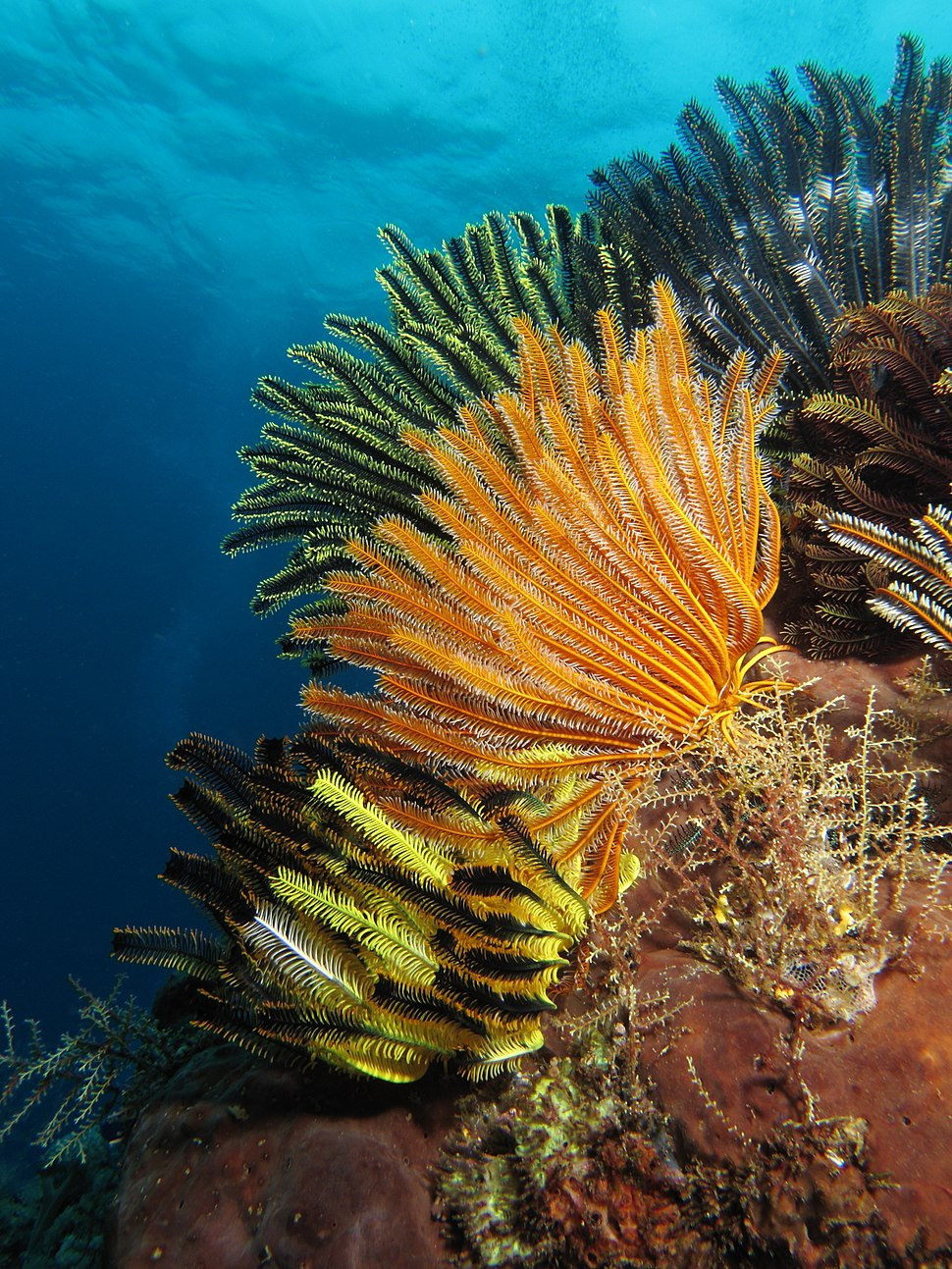 Colorful crinoids at shallow waters of Gili Lawa Laut